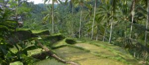 Sawa-Ubud-Rice-Fields-Countryside-Nature-Indonesia-Investments